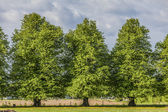 Linden Trees — Stock Photo