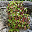 Rock Wall Begonia — Stock Photo