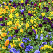 Pansy Flower Bed — Stock Photo
