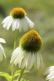 White Cone Flower — Stock Photo