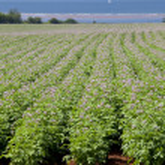 Potato Field — Stock Photo #38518917