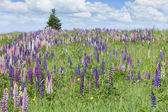 Prince Edward Island Lupins — Stock Photo