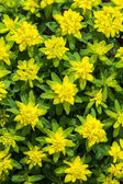 Garden Euphorbia — Stock Photo