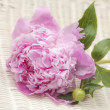 Pink Peonies — Stock Photo #38869493