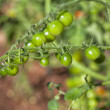 Green Tomatoes — Stock Photo #39276551