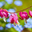 ������, ������: Bleeding Heart flower Dicentra spectabilis