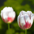 Stock Photo: Variegated Tulips