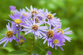 Michaelmas daisy — Photo