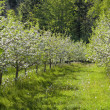 Springtime Apple Orchard — Stock Photo