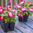 Greenhouse Grown Impatiens — Stock Photo
