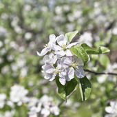 Apple Blossoms — Photo