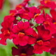 Stock Photo: Annual Nemesia