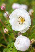 Little White Roses — Stock Photo