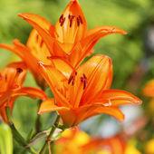 Lirios naranjas — Foto de Stock