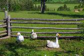 Farmyard Geese — ストック写真