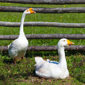 Farmyard Geese — Stock Photo