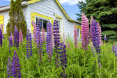 Countryside Lupins — Stock Photo