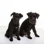 Minature Schnauzer Puppies — Stock Photo