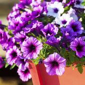 Multiflora Petunias — Stock Photo