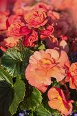 Begonias naranjas — Foto de Stock