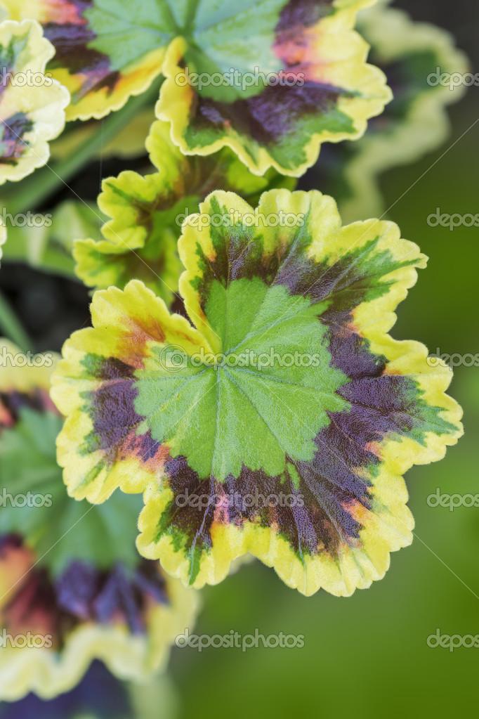G ranium de feuilles panach es photographie onepony 45289315 - Geranium feuilles qui jaunissent ...