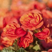Orange Begonias — Stock Photo