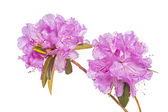 PJM Rhododendron — Stock Photo