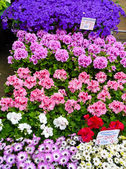 Geraniums in Amsterdam — Stock Photo