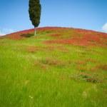 ������, ������: One cypress