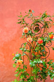 Roses on a wall — Stock Photo