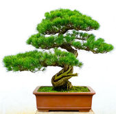 Bonsai pine tree — Stockfoto