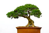 Bonsai tree — Stock Photo