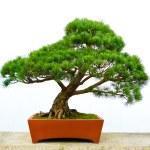Bonsai pine tree — Stock Photo #19390387