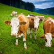 Royalty-Free Stock Photo: Ayrshire Cows