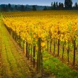 Vineyard in napa Valley — Stock Photo