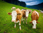 Ayrshire Cows — Stock Photo
