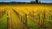 виноградник в долине напа — Стоковое фото