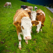Cows — Stock Photo #21015541