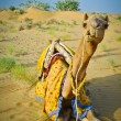 Stock Photo: Sitting Camel