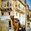 Mandawa Camel — Stock Photo