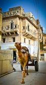 Mandawa camel — Foto de Stock