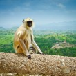 Kumbhalgarh Monkey - Stock Photo
