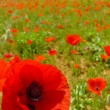 Poppy and Field — Stock Photo