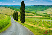 Vineyard Hills and Cypresses — Stock Photo