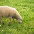 Sheep in a field - Stock Photo