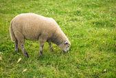 Ovce v poli — Stock fotografie