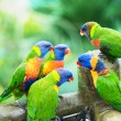 Rainbow Lorikeets - Foto Stock