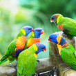 Stock Photo: Rainbow Lorikeets