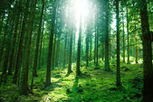 Solljus i skogen — Stockfoto