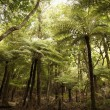 Giant tree ferns, New Zealand. — Stock Photo
